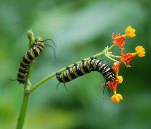 Caterpillers