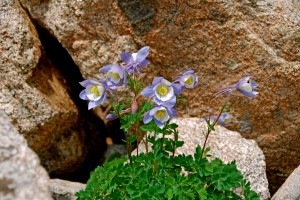 Columbine In The Rocks